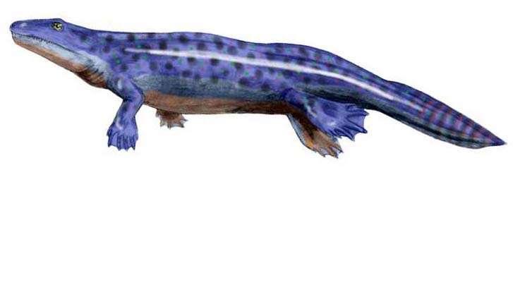 Les poumons et les pattes sont apparus avant la sortie de l'eau des premiers tétrapodes. Ces organes étaient donc initialement adaptés à la vie en milieu aquatique. Leur utilisation hors de l'eau résulte d'un processus d'exaptation. © Arthur Weasley, Wikimedia common, CC by-sa 3.0