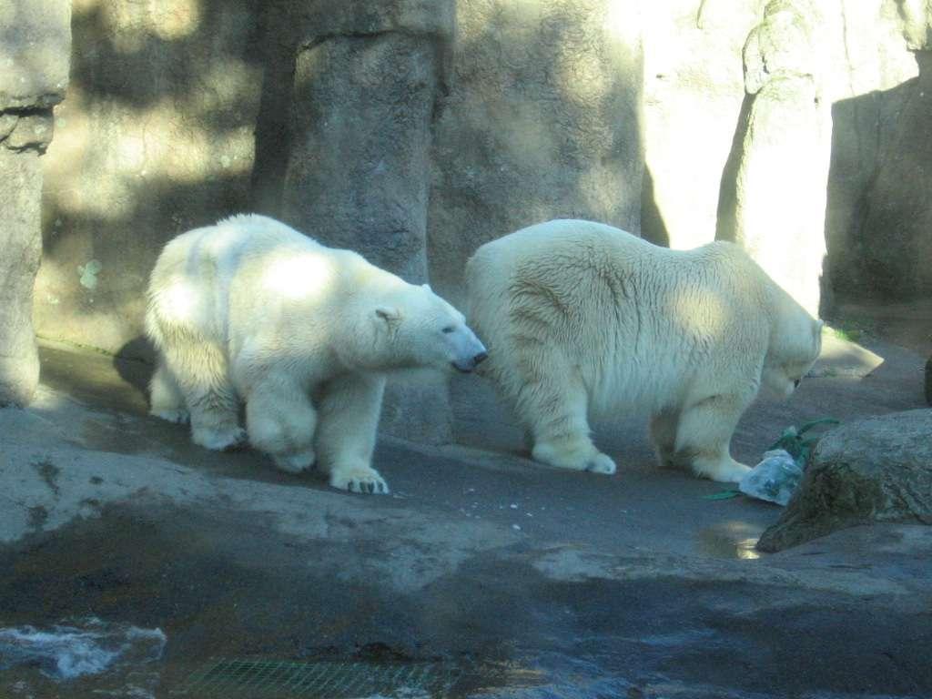 L'ours polaire Tasul (une femelle ; à gauche) est née le 1er décembre 1984, comme son frère Conrad (à droite). Les Ursus maritimus font partie des plus grands carnivores terrestres. © thirteenthbat, Flickr, cc by 2.0
