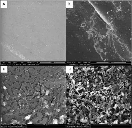 Photographies au microscope électronique à balayage de polycarbonate dégradé après 12 mois dans une culture de champignons. En A, l'échantillon témoin (non prétraité), en B thermiquement traité et avec le champignon SF1. En C, on observe la pénétration d'hyphes (appareil végétatif des champignons) de SF2 dans les fissures d'un échantillon non prétraité et, en D, la formation de craquelures par SF2 sur un échantillon prétraité. © 2009 American Chemical Society