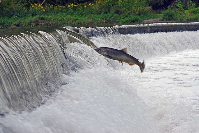 Le poisson s'adapte au milieu salin grâce à la smoltification. © ZaNiaC, Flickr, cc by nc sa