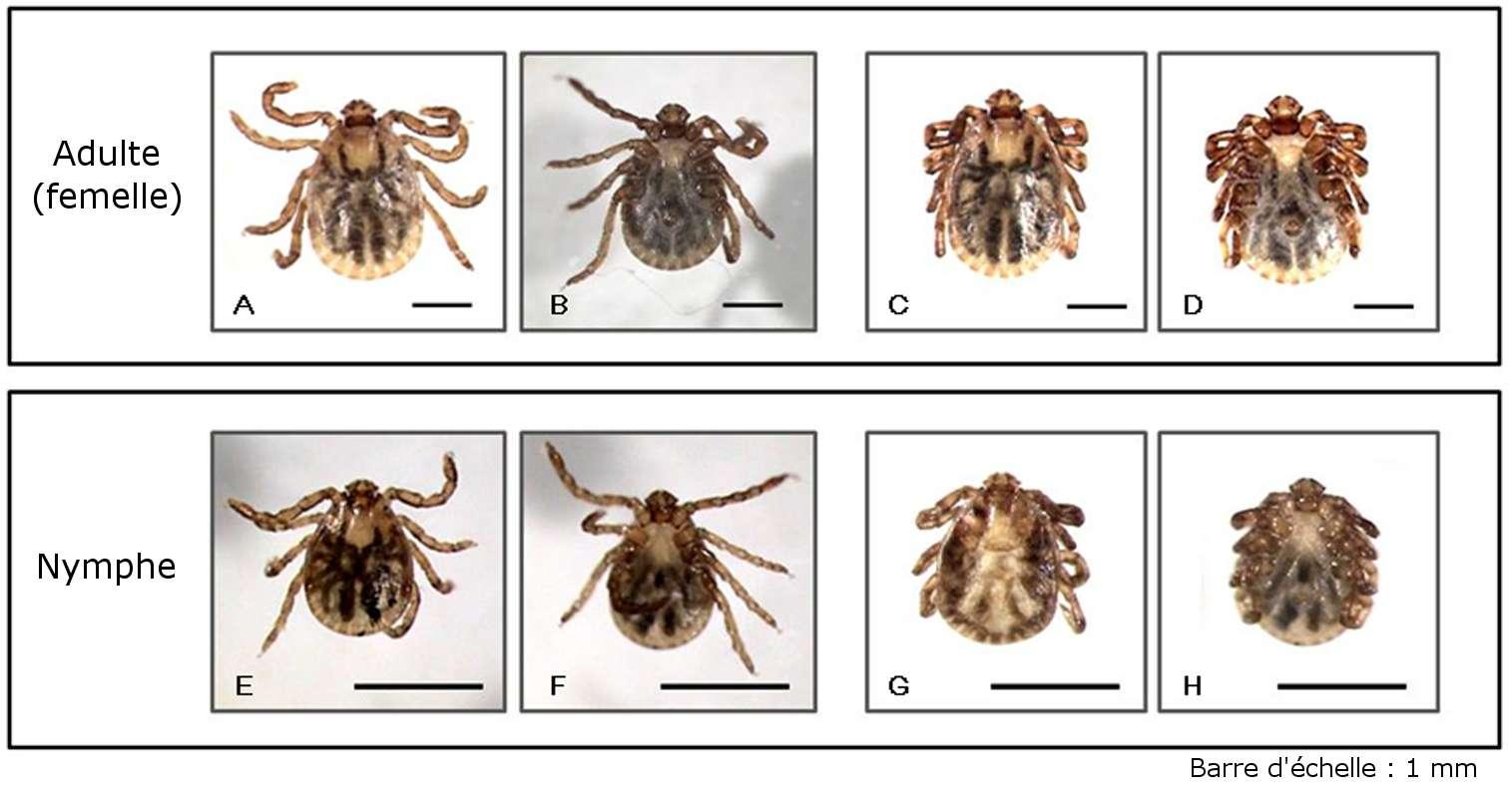 Des tiques Haemaphysalis flava adultes (en haut) et à l'état de nymphe (en bas). Les deux premières photographies de chaque ligne montrent des animaux vivants en vue dorsale puis ventrale. Sur les deux suivantes, les acariens sont morts. Remarquez la position des pattes qui sont alors repliées sur le corps. © Yasuhito Ishigaki et al. 2012, Plos One