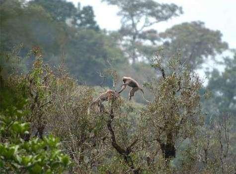 Rungwecebus kipunji évoluant dans les forêts de Tanzanie