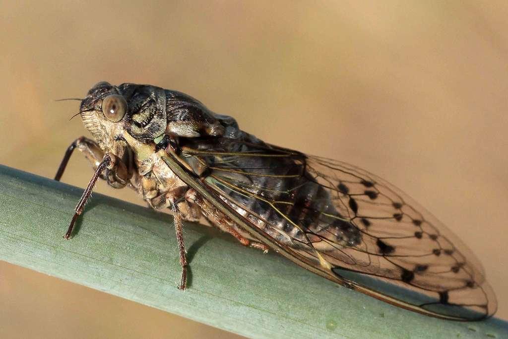Les cigales, comme cette Cicada orni, sont des hémiptères hétérométaboles. Elles se nourrissent de la sève d'arbres et arbustes. © el chip, Flickr, cc by nc sa 2.0