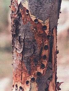 Maladie de l'écorce, un arbre fruitier fendillé. Crédits DR.