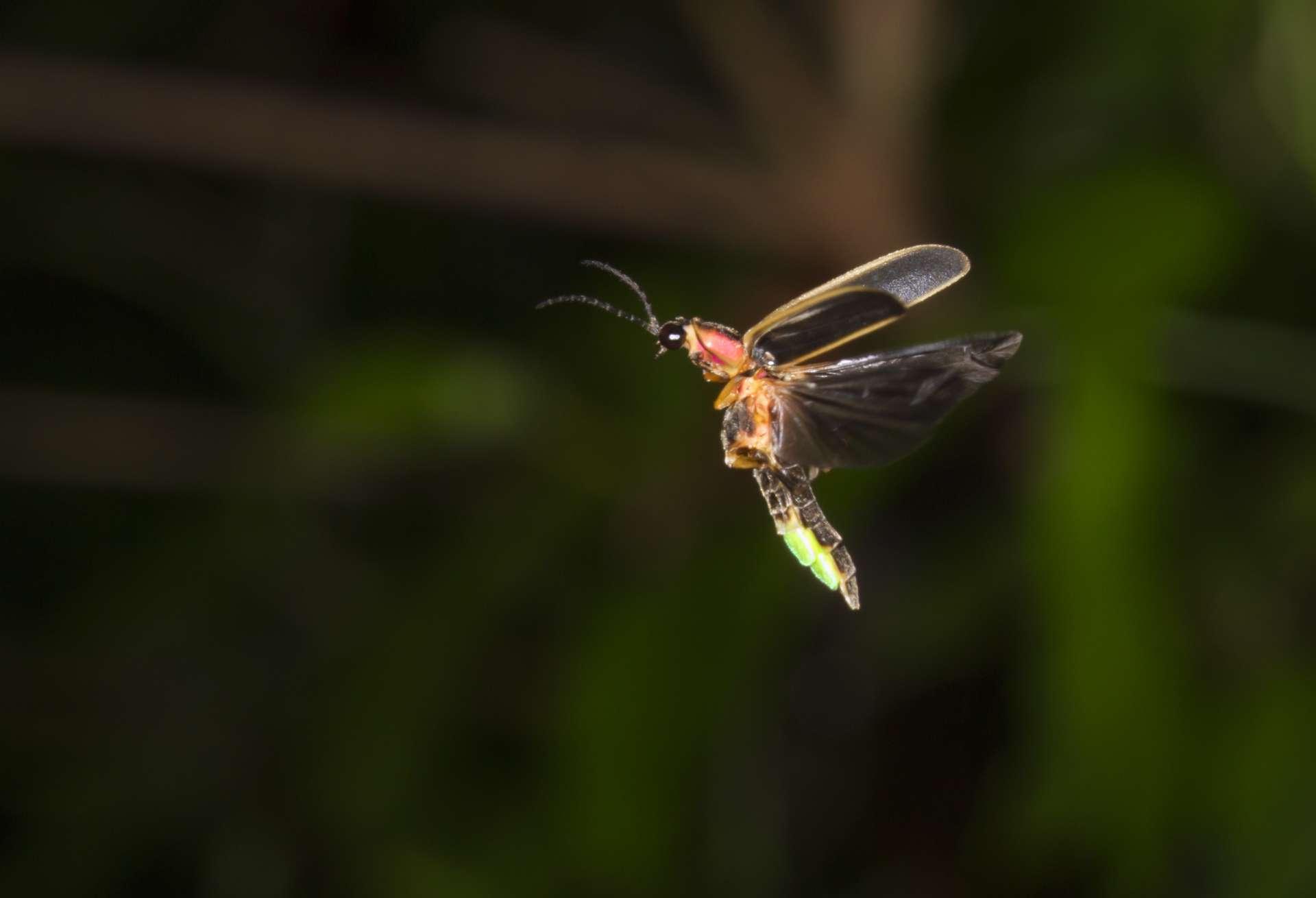 Une luciole de l'espèce Photinus pyralis en plein vol nocturne dans l'état de Géorgie. © Ivan Kuzmin, Adobe Stock