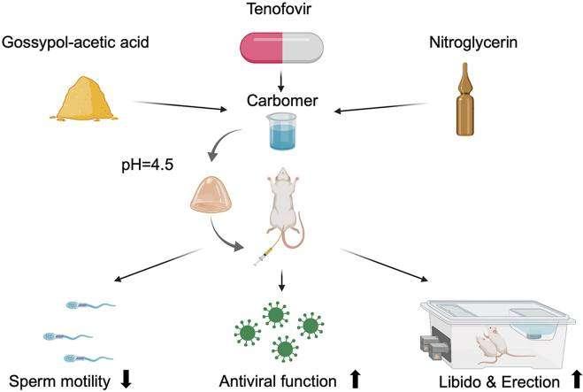 Le gel contient un agent spermicide, un antiviral et de la nitroglycérine pour doper la libido. © Ke Cheng at al, Bioact Mater., 2021