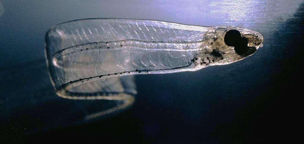 Un leptocéphale (stade larvaire) de congre. Il mesure 7,6 cm. © Uwe Kils, Wikimedia Commons, CC By-SA 3.0
