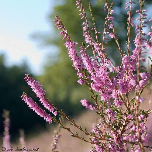 La bruyère callune Calluna vulgaris est typique des sols acides des tourbières, landes et pinèdes. © A. Sorbes CC by-nc-sa 2.0
