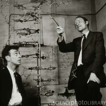 James Watson (à gauche) et Francis Crick (à droite), devant leur modèle de la molécule d'ADN, aux laboratoires Cavendish en 1953. Crédit : A. Barrington Brown / Science Photo Library