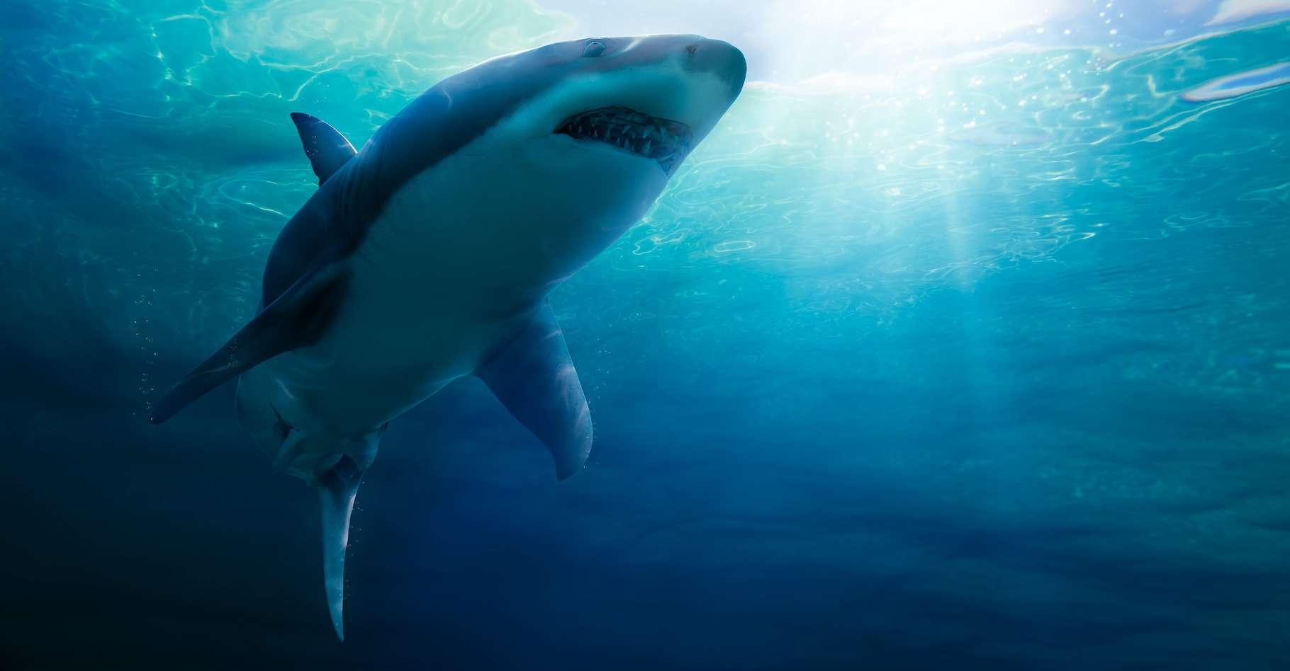 Selon les experts, le requin pris à nager sur le dos serait une femelle d'environ 3,5 mètres de long. © fergregory, Adobe Stock