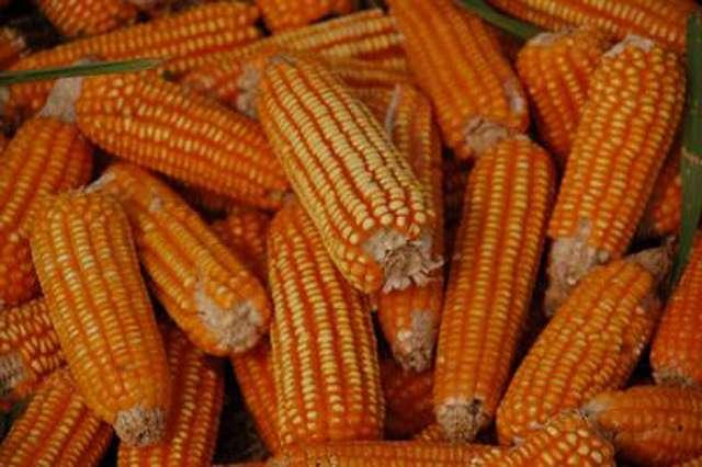 Le Conseil d'État a décidé la fin de l'interdiction du maïs génétiquement modifié MON 810 en France. © IITA Image Library, Flickr, cc by nc 2.0