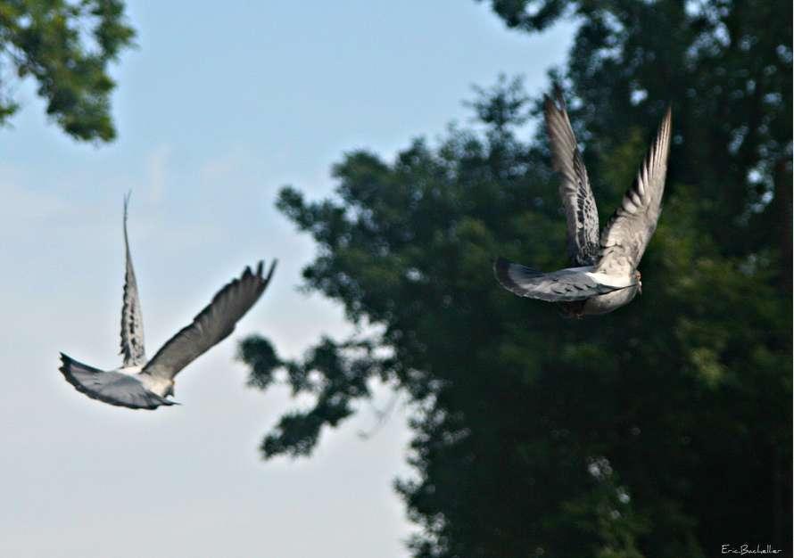 Les pigeons voyageurs appartiennent à une race de pigeons bisets (Columba livia), de la famille de columbidés. Ils étaient déjà utilisés comme messager par l'Empire romain. © eric.bachellier, Flickr, cc by nc sa 2.0