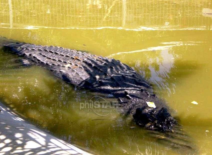 L'animal fait beaucoup parler de lui aux Philippines (ici une photographie publiée dans PhilStar). Les crocodiles de cette taille sont un danger pour les populations côtières. © Copyright © 2011-Philstar Global Corp.