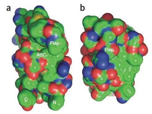 À gauche, la protéase du virus du Sida, le HIV. À droite, celle du M-PMV déterminée grâce aux joueurs de Foldit. Les chercheurs y voient quelque chose de très intéressant : un volet (flap) vient obturer la cavité qui constitue le site actif (ASC). Si l'on parvient à empêcher l'ouverture de ce volet, la protéine est inactive et le virus ne se reproduit pas. © Firas Khatib et al.