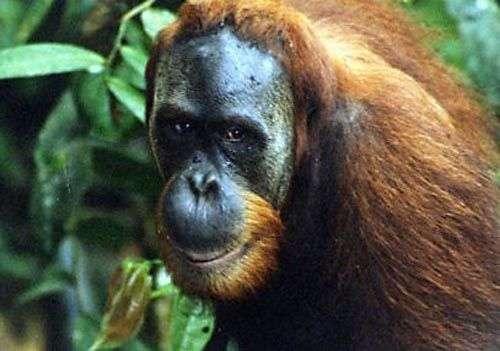 L'orang-outan, quatre fois répertorié primate en danger d'extinction. Crédit IUCN/SSC