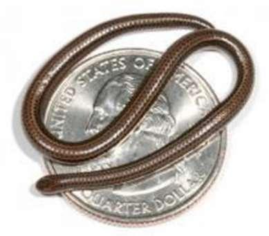 Le Leptotyphlops sur un quart de Dollars US. Crédit : Blair Hedges