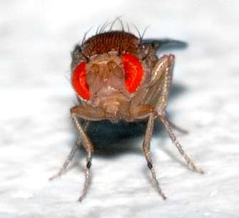Drosophila melanogaster a un œil qui contient 800 unités de vision ou ommatidies, ce qui en fait l'un des plus développés parmi les insectes. Chaque ommatidie contient huit cellules photoréceptrices, des cellules de support, des cellules de pigment et une cornée. Avec cet œil, la drosophile peut distinguer les guêpes parasitoïdes mâles des femelles. © André Karwath (Aka), cc by sa 2.5, Wikipédia