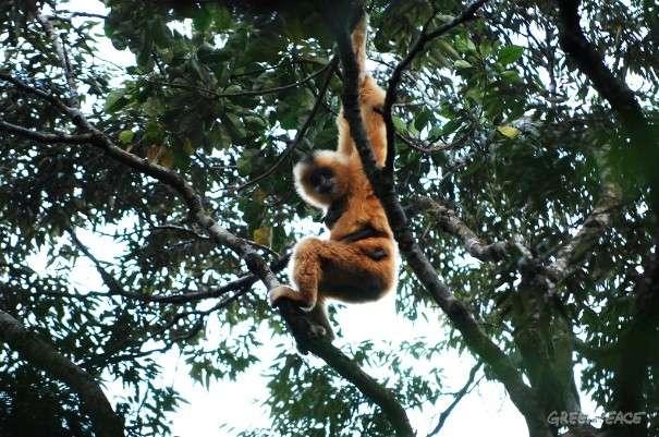 Le gibbon de Hainan, dont il ne reste que 23 individus, est menacé par la déforestation. © Greenpeace