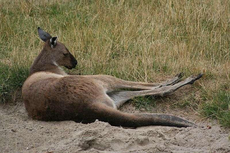 Le kangourou gris de l'ouest, ou kangourou gris, ressemble beaucoup au kangourou géant qui, lui, vit dans l'est du continent australien. © Ber'Zophus, Wikipédia, cc by sa 2.5