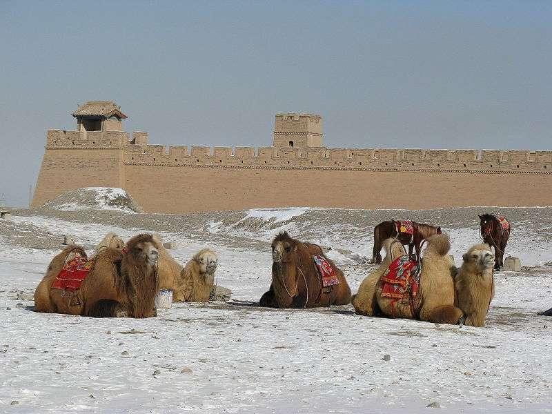 Troupeau de chameaux de Bactriane dans la province de Gansu en Chine. © Emcc83, Wikipédia, GFDL Version 1.2