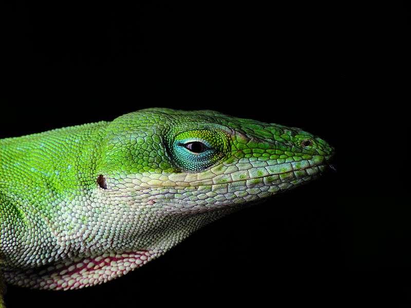 L'anole vert s'appelle aussi anole à gorge rouge en référence à son fanon gulaire que le mâle déploie pour séduire les femelles ou impressionner ses rivaux. Du fait qu'il change de couleur, on le nomme aussi caméléon américain, bien qu'il ne fasse pas partie de la famille des caméléons. © PiccoloNamek, Wikimedia Commons, cc by sa 3.0