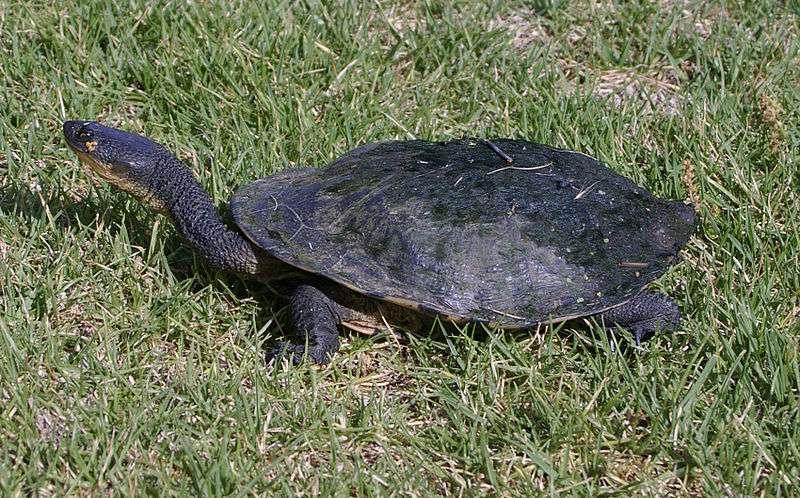 La tortue à long cou ne peut pas rétracter sa tête sous la carapace en cas de danger. Elle replie son cou sous la dossière pour se protéger. © Bidgee, Wikipédia, cc by 3.0