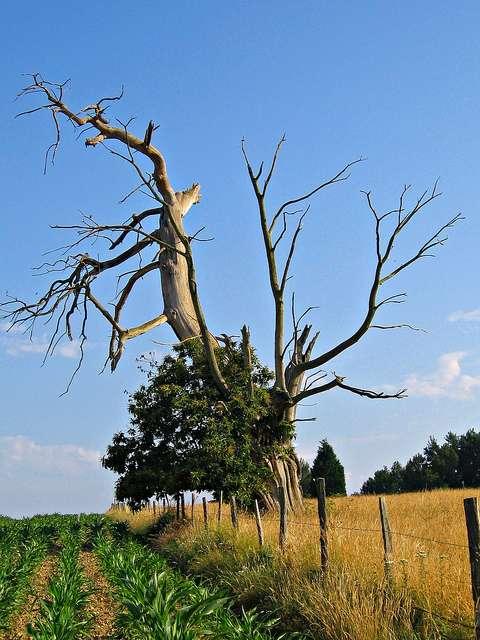 Chez cet arbre âgé, la sénescence est clairement visible. © Matthieu Luna CC by-nc-nd 2.0
