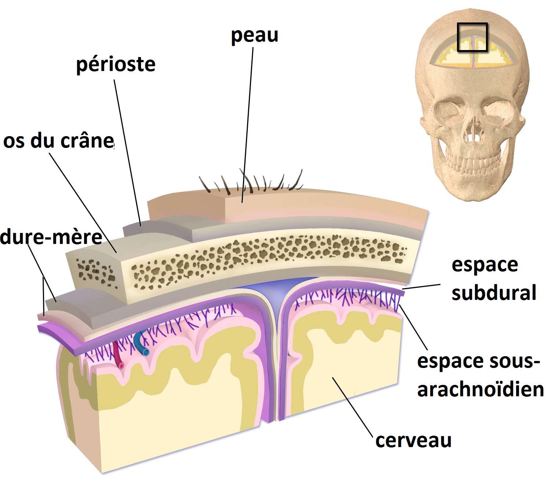 Schéma des méninges autour de l'encéphale. L'espace sous-arachnoïdien se situe sous la dure-mère. © Blausen Medical, BruceBlaus, Wikimedia Commons, CC by 3.0
