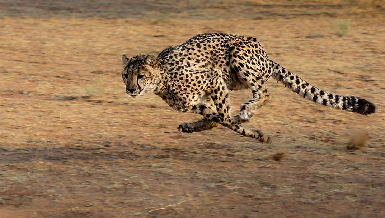 Quels sont les animaux les plus rapides ?