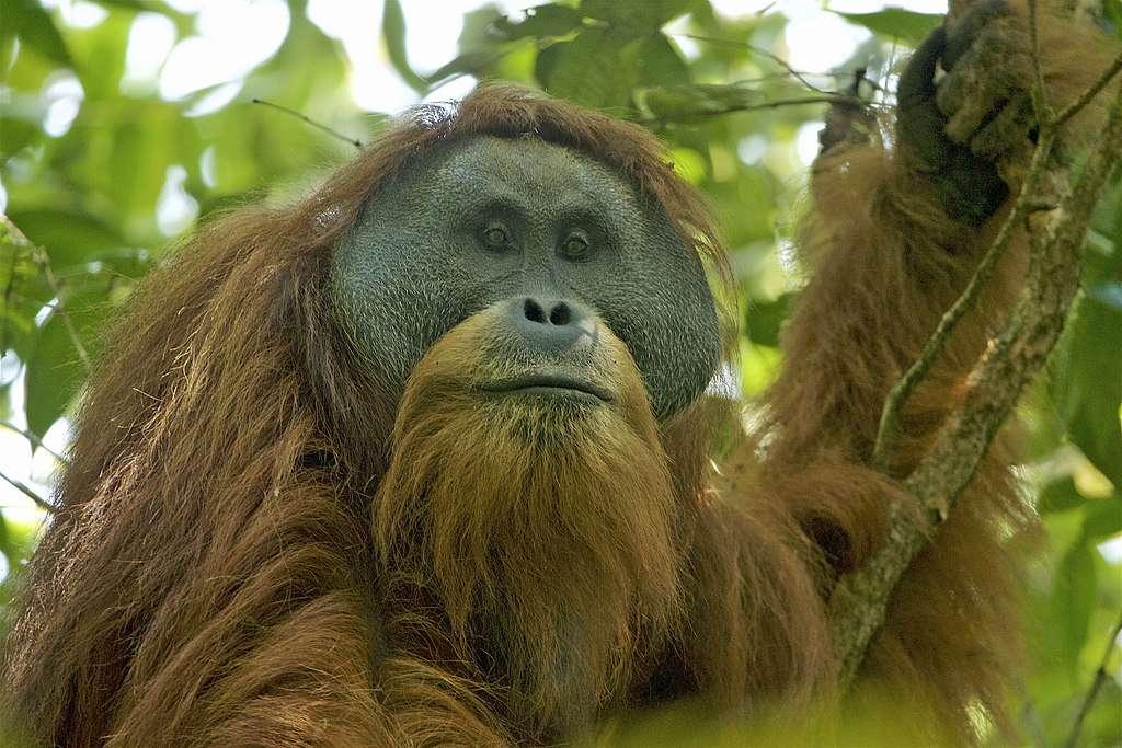 Des entreprises chinoises se sont lancées dans la construction d'un barrage et d'une centrale hydroélectrique dans le nord de Sumatra, en plein milieu de l'habitat naturel des orangs-outans de Tapanuli, une espèce rare décrite en 2017. © Tim Laman, Wikimedia Commons, CC By 4.0