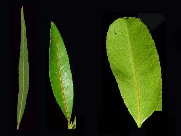 Le bois rouge, Cassine orientalis, peut être hétérophylle durant sa vie. Il présente des feuilles de formes différentes. © Cirad