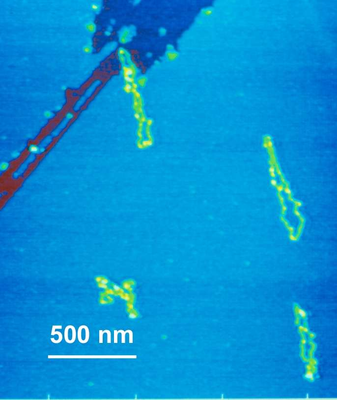 En jaune des molécules organiques à la surface du mica (en bleu). L'observation s'est faite avec un microscope à force atomique. Crédit : Helen Greenwood Hansma, UC Santa Barbara