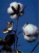 Fleurs de cotonnier
