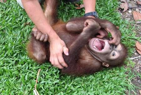 Marina Davila Ross en plein travail sur un jeune orang-outan. Crédit : Miriam Wessels/University of Veterinary Medicine