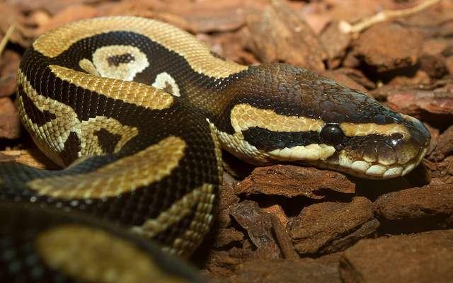 Le python royal, qui se roule en boule lorsqu'il se sent menacé, entend grâce à son crâne. © Brian Gratwicke, Flickr, cc by 2.0