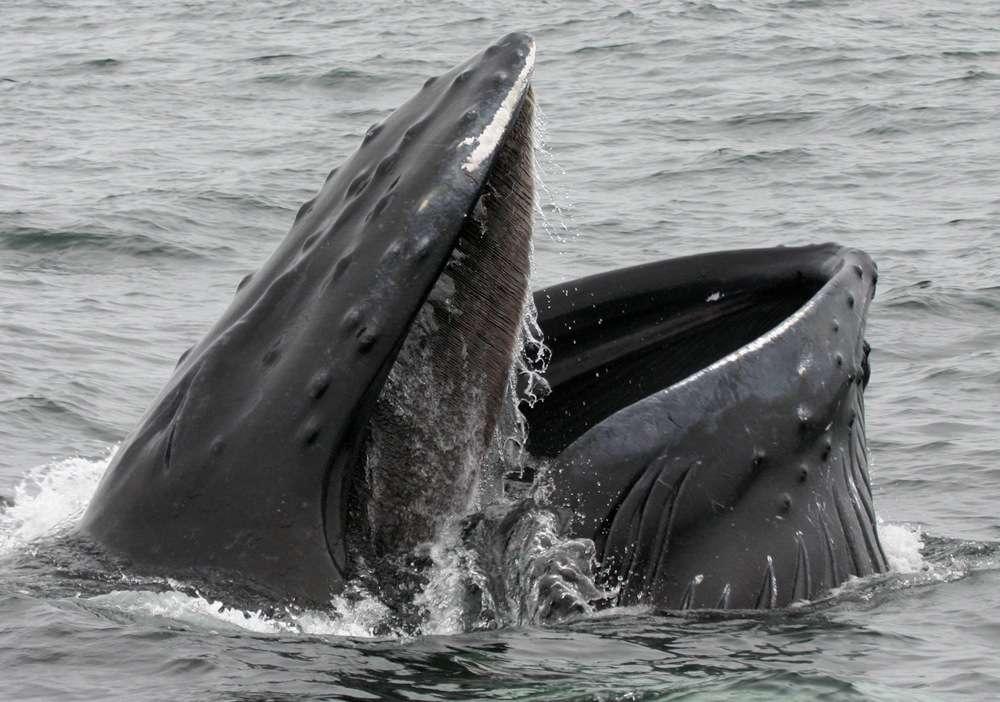 La baleine bleue (Balaenoptera musculus) est un mysticète puisqu'elle possède des fanons. Il ne resterait actuellement, après plus de 40 années de chasse, que 5.000 à 12.000 individus sur Terre. © Rubonix, Fotopedia, cc by nc nd 2.0