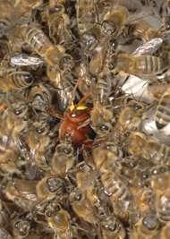 Sous cette mêlée d'abeilles, pas de ballon de rugby mais un frelon en train d'étouffer… © Emmanouil Filippou