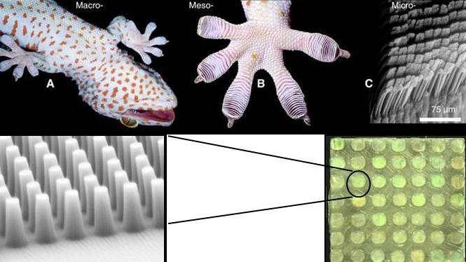 Les doigts des pattes des geckos sont terminés par des millions de poils (appelés sétules ou setae) composés de kératine et dont le diamètre à la base est de quelques dizaines de microns. À leur extrémité, ces poils se scindent eux-mêmes en poils encore plus fins, de quelques centaines de nanomètres de diamètre, qui se terminent par une structure en spatule. À ce niveau entrent en jeu les forces de Van der Walls et là réside le secret principal des geckos pour courir sur les murs. Les scientifiques parlent d'adhérence sèche. © Darpa