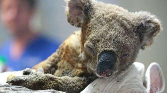 Les koalas, qui grimpent en haut des arbres pour se protéger, sont victimes des incendies. Plusieurs centaines d'entre eux sont morts. © Getty Image