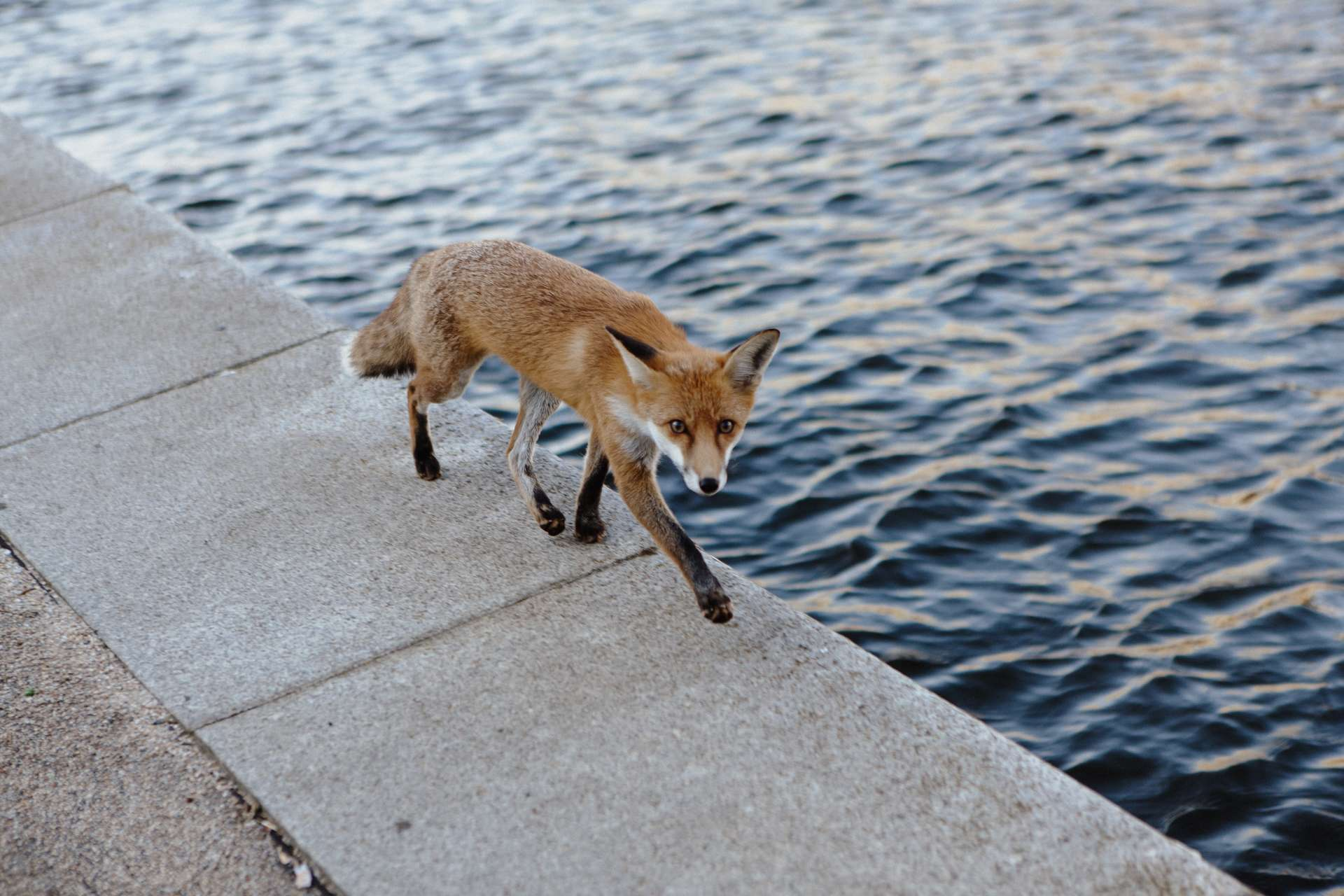 À Londres (Royaume-Uni), les renards de ville semblent développer un « syndrome de domestication », afin de s'adapter à leur nouvel environnement. © Ramon, Adobe Stock