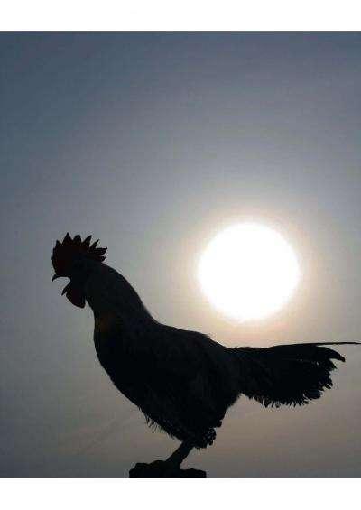Le coq chante non pas pour faire tomber la pluie ou parce que le soleil pointe le bout de son nez. Mais surtout parce que c'est inscrit en lui et que son horloge biologique le pousse à le faire. © Shimmura et al., Current Biology