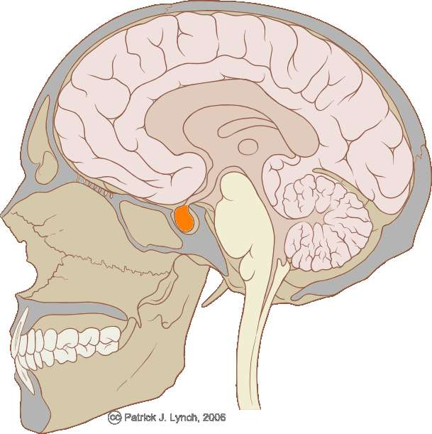 L'hypophyse est une glande endocrine contrôlant des fonctions biologiques variées. Située au cœur du cerveau, l'hypophyse est reliée étroitement à l'hypothalamus. © Patrick J. Lynch / Licence Creative Commons