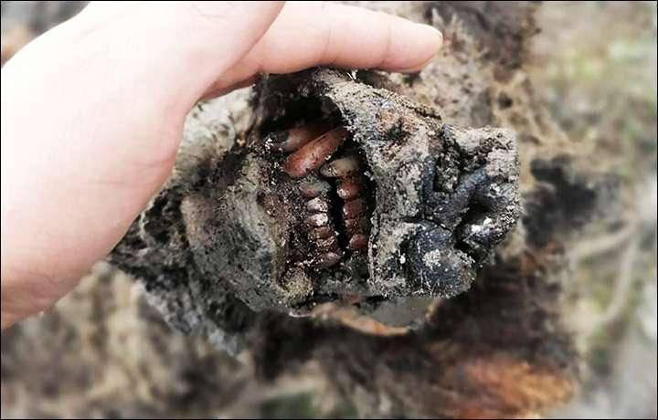 L'ours de cavernes serait âgé de 22.000 à 39.500 ans. © NEFU
