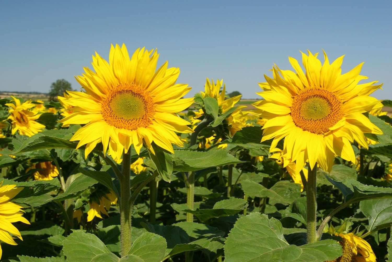 Fleurs de tournesol. Les résidus lignocellulosiques d'origine agricole que sont les tiges de tournesol et les pailles de colza sont d'un grand intérêt pour la chimie verte grâce à la production de lipides. © hamon jp, Wikipedia commons