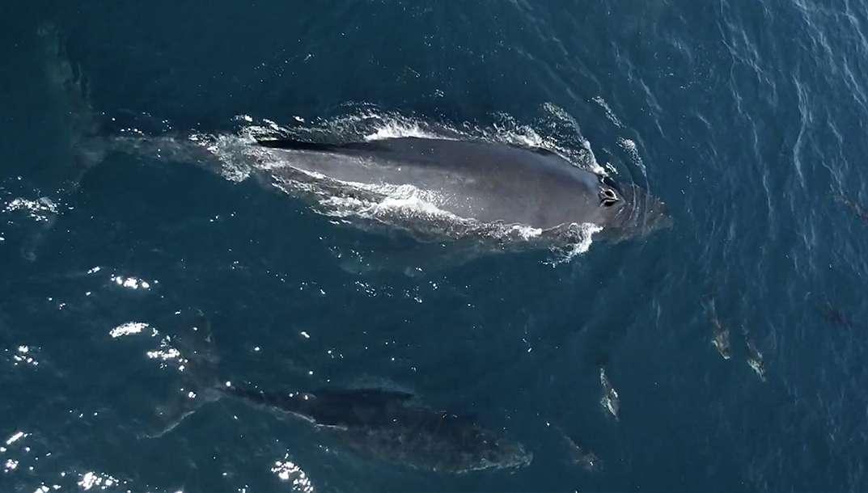 1.500 dauphins jouent avec un bébé baleine à bosse
