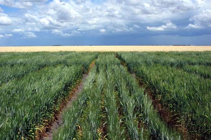 Sans problème de salinité, la production de blé dans les champs expérimentaux s'est élevée à 2,5 tonnes par hectare. La présence d'une forte concentration de sel diminue ce nombre de moitié pour les espèces intolérantes. © Crisco