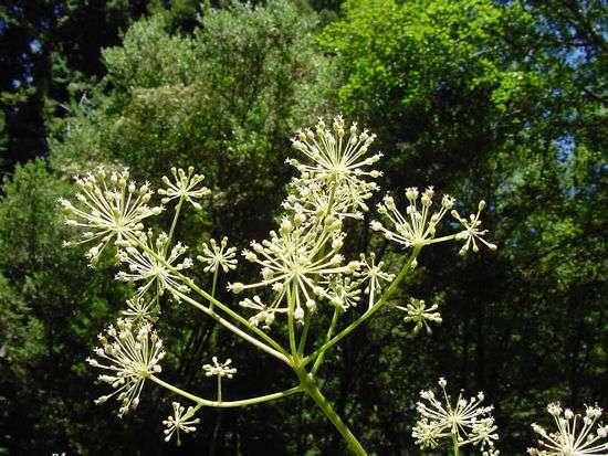 L'aralia permet de purifier l'air, grâce à ses nombreuses feuilles. © DP