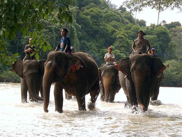 Il existe quatre sous-espèces d'éléphants d'Asie encore vivantes, et deux éteintes. © egonwegh, Flickr, cc by nd 2.0