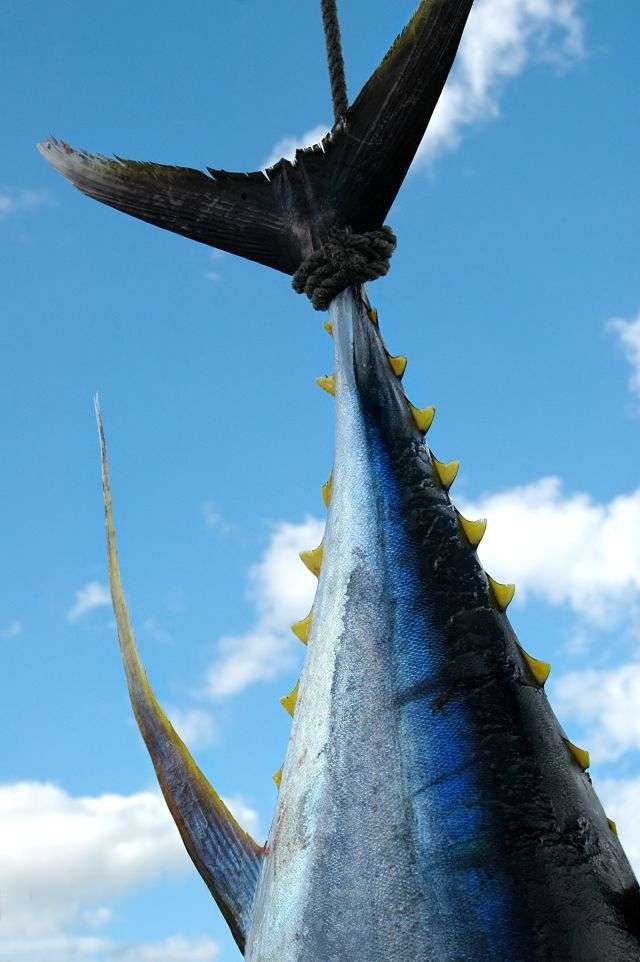 Le thon rouge est victime de la surpêche. Cette espèce n'est pas encore élevable en aquaculture. Certaines fermes existent, mais elles se contentent d'engraisser des poissons sauvages capturés durant la saison de la pêche. © Graham Prentice, shutterstock.com
