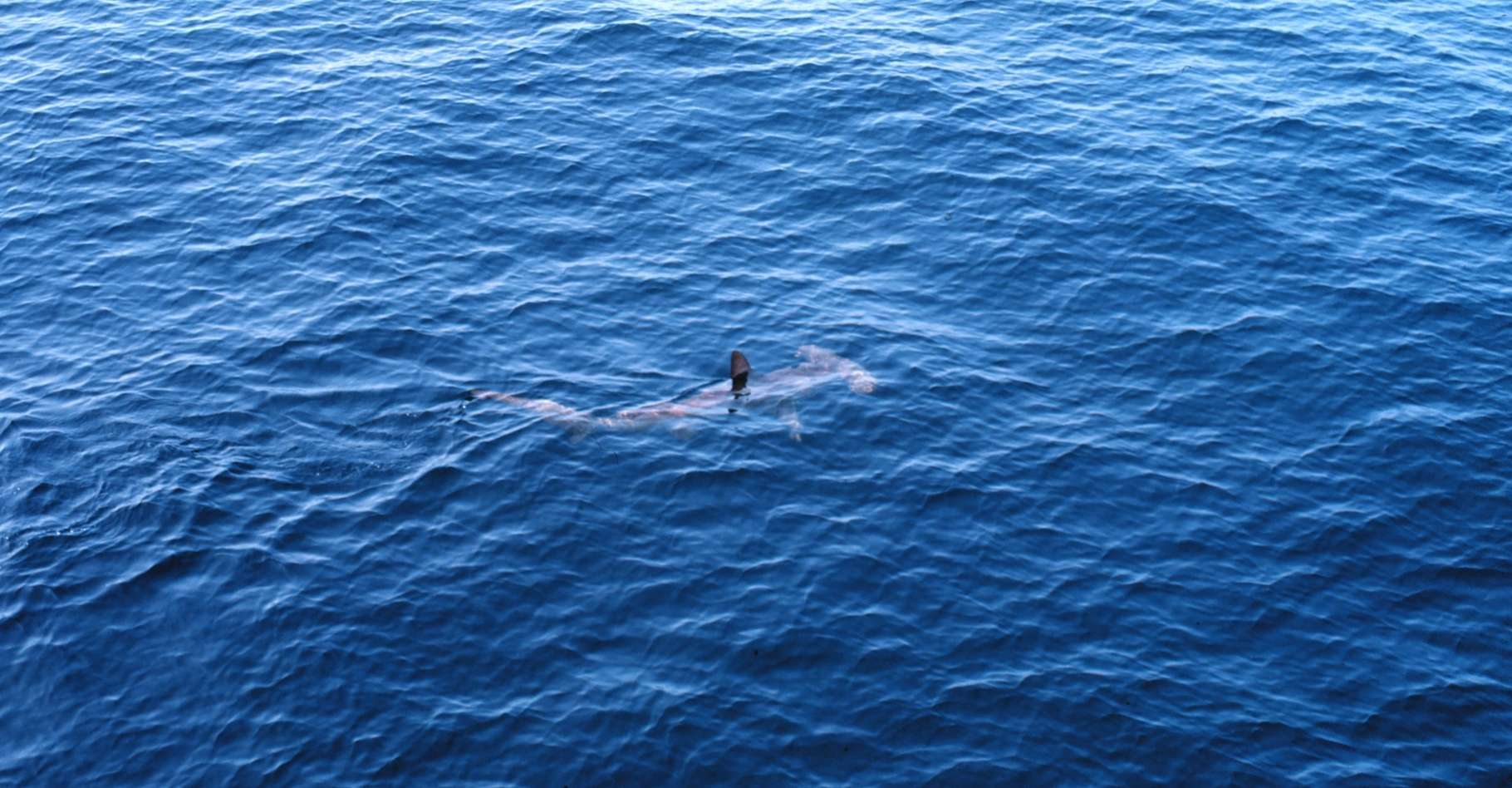 Le requin marteau commun apprécie particulièrement les eaux côtières peu profondes et chaudes. Jamais on n'en avait observé un dans les eaux irlandaises. Une preuve que l'océan se réchauffe. © John Bortniak, NOAA Corps, Wikipedia, Domaine public